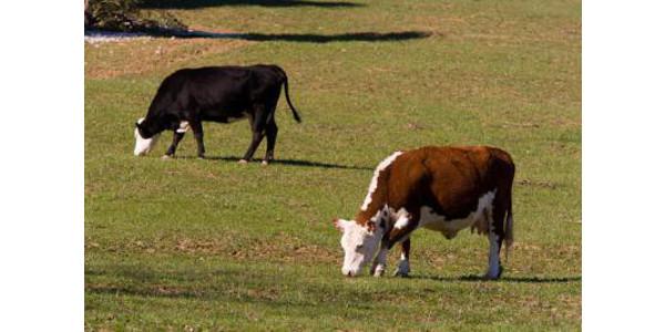 Beef cattle markets stabilizing