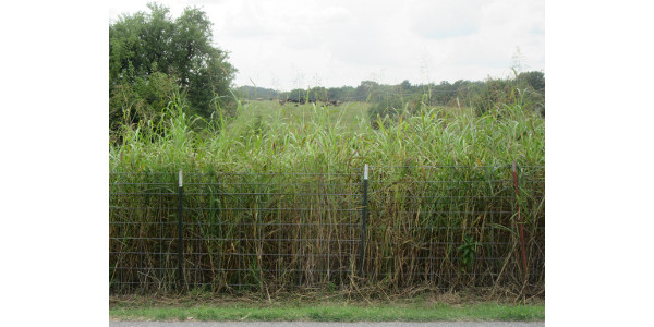 Is the johnsongrass in the foreground a health risk for the cattle on the horizon? (Photo credit: MU Extension)