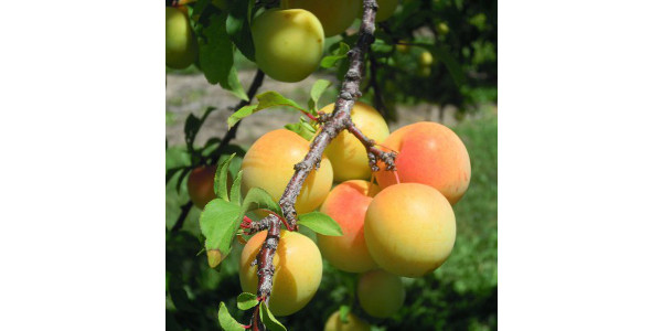 SWD in plums & nectarines a concern for growers