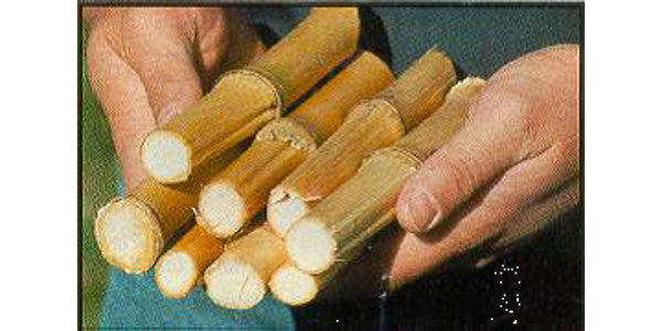 Corn stalk nitrate test tips