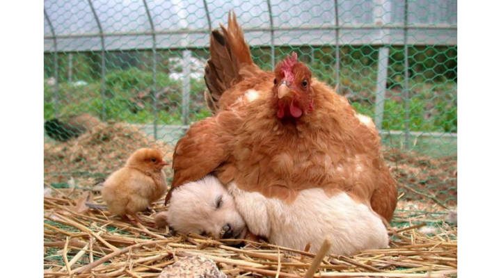 10+ photos proving that hens are the best moms