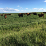 Heifers graze on an oat crop. (NDSU photo)