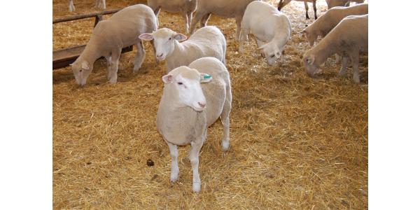 Beginning sheep producer clinic scheduled