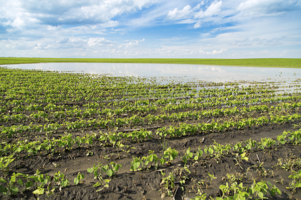 Rain, flooding, ponding damaging some crops