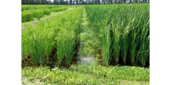 Missouri Rice Field Day Aug. 24