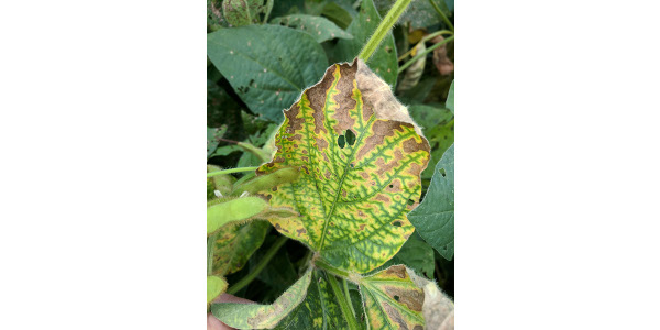 Figure 1. Discoloration on the mid to lower stem of soybean is characteristic of stem canker (Photo: Carl Bradley, UK)