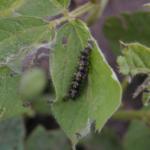Photo 1. Thistle caterpillar leaf feeding and webbing. (Photo: Bruce Potter)