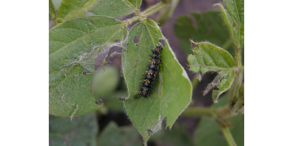Photo 1. Thistle caterpillar leaf feeding and webbing. (Photo: Bruce Potter)