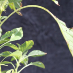 Palmer Amaranth, pictured here, have a longer petiole than leaf. Waterhemp is just the opposite. (Photo courtesy of iGrow.org)