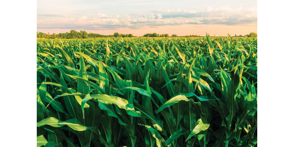 Corn crop condition continues seeing improvement