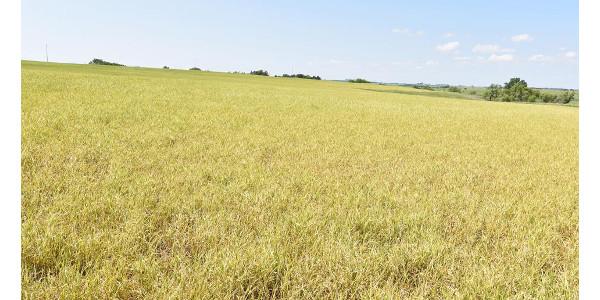 Figure 1. Severe wheat streak mosaic in a grower's field in Jefferson County on June 1. (Photo by Stephen Wegulo)