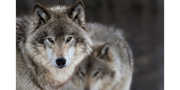 Michigan's ability to manage its own wildlife populations has become more difficult following a Washington D.C. appeals court decision to uphold the gray wolf's listing on the Endangered Species Act list. (Courtesy of Michigan Farm Bureau)
