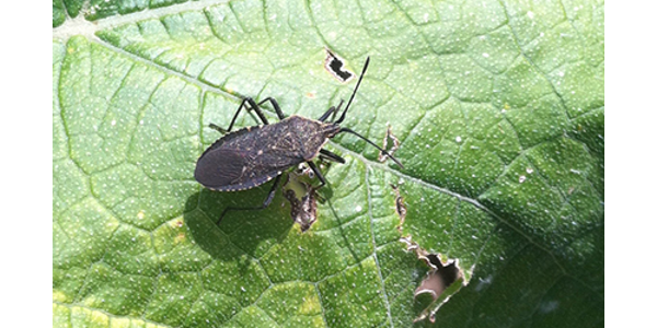 Squash bugs can be a difficult pest to manage later in the season, making prevention and early detection important. (Courtesy of SDSU Extension)