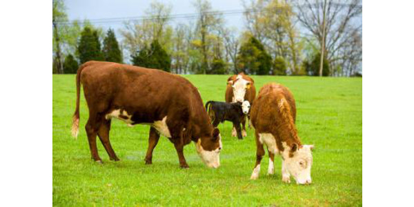 Ky. Grazing conferences to focus on weed control