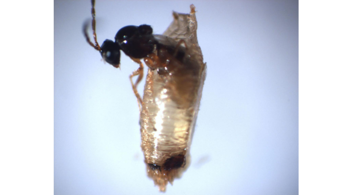 Researchers examine parasitic wasps