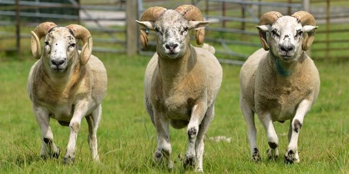 Sheep gene insights could help farmers