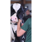 4-H dairy