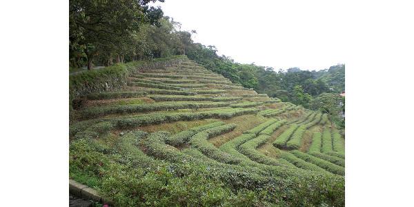 Wen Shan Tea Farm in Taiwan. (Zach Ware via Flickr)