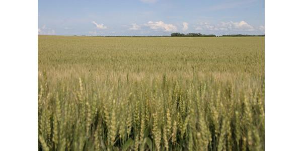 north dakota wheat field