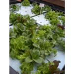 A hydroponic lettuce garden. (thethrillstheyyield via Flickr)