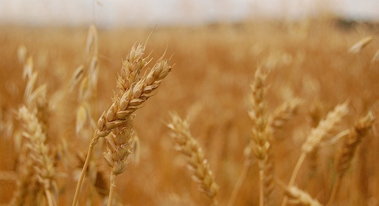 Strengthening trade for the wheat industry