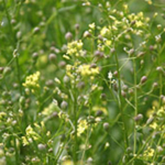 The camelina plant has been used to fly planes. Other potential uses include pharmaceutical and cosmetic products. (Photo courtesy of Robert Evans, ARS via Flickr)