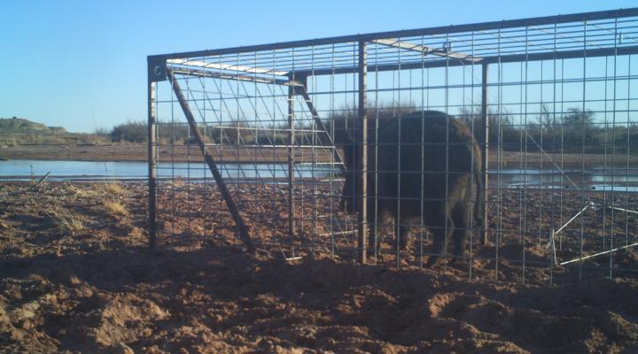 FFA welds feral swine trap gates