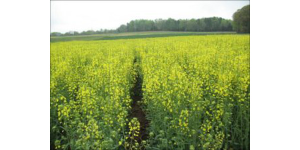 Organic winter canola production in N.C.