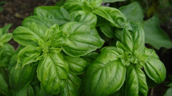 Rutgers Ultra-Niche Crop Series to feature basil