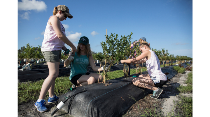 Hundreds helped replant blueberry bushes