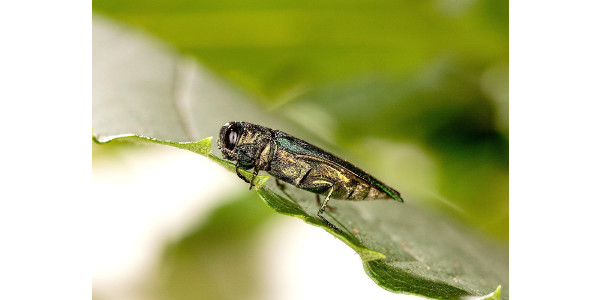 EAB_horizontal_USDA