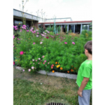 Pollinator Gardens flourishing at Flanagan Elementary School & Flanagan Library with help from the community, school & University of Illinois Extension Livingston County Master Gardeners. (University of Illinois Extension)