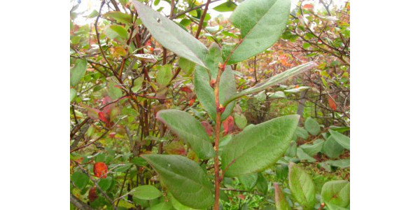 Don't neglect late-season irrigation of blueberries