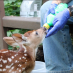 IWC Executive Director Marlene Ehresman cares for an orphaned whitetail fawn. (Courtesy of Iowa Wildlife Center)