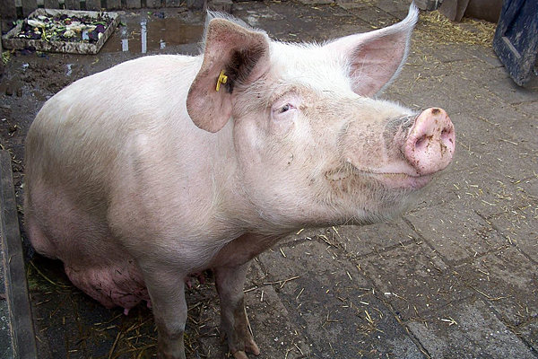 7 people contract swine flu strain from infected pigs