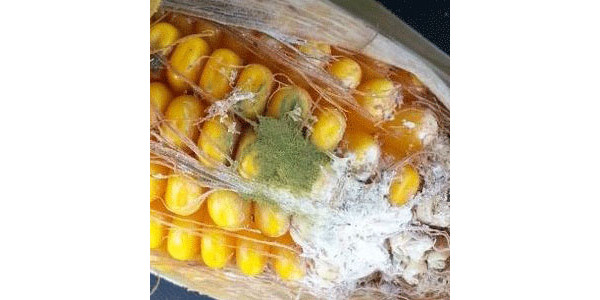 Watch for aflatoxin in drought-stressed corn