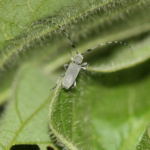 Figure 1. Adult Dectes stem borer is a long horned beetle; its antennae can be 1.5 times longer than the length of its body. (Photo: Nathan Yielding).