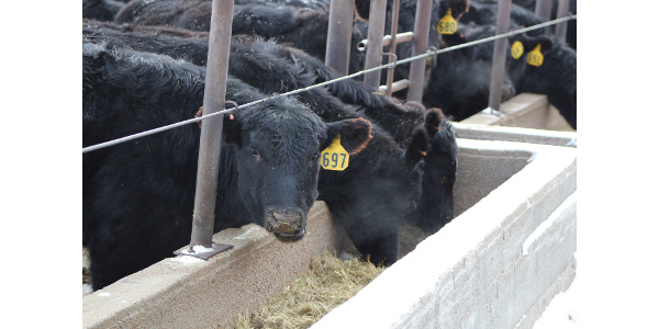 Consistency is key to feed bunk management