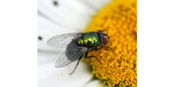Figure 1. The green bottle fly Phaenicia sericata, is commonly involved in fly strike cases. (Photo: Lee Townsend, Extension Entomologist)