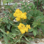 Native goldenrod. (Courtesy of Co-Horts Blog)