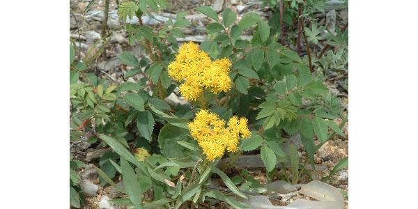 Native goldenrod. (Courtesy of Co-Horts Blog)