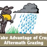 Take advantage of crop aftermath grazing. (Courtesy of NDSU)