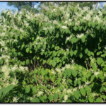 The SW X SW Corner Cooperative Invasive Species Management Area (CISMA) has been busy promoting awareness for Japanese Knotweed, a troublesome invasive species that is currently impacting Southwest Michigan. (Courtesy of NRCS-CD)
