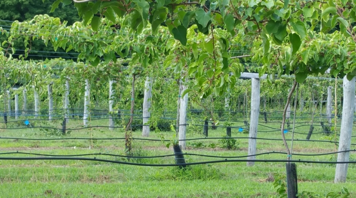 'Under the Vines' Kiwiberry Field Day