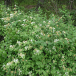 Morrow's honeysuckle plant has whitish flowers. (Photo courtesy: Leslie J. Mehrhoff, University of Connecticut, Bugwood.org)