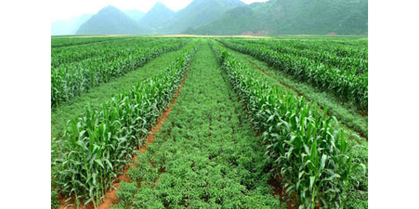 Corn (taller plants) planted with chili peppers. Farmers can reduce erosion and increase profits by using this intercropping system. (Photo provided by Bozhi Wu)