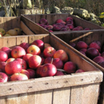 Apple growers are encouraged to take advantage of slightly cooler nights by leaving fruit outdoors and then fill rooms in the morning hours. (Courtesy of Michigan Farm Bureau)