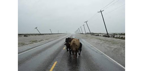With over 1.2 million cattle in the 50 counties declared as a disaster area, there could be thousands of cattle displaced or worse. (Courtesy of Missouri Department of Agriculture)