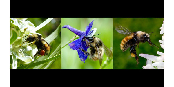 Climate's effects on flowers critical for bumble bees