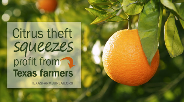 Citrus theft squeezes profit from farmers